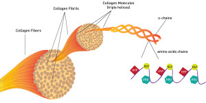 Collagen's Structure in the tendon